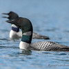 Loon Pair on Alert for Bald Eagle
