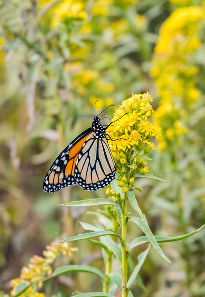 A Monarch Butterfly on a Flower 10/1/17