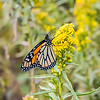 A Monarch Butterfly on a Flower 10/1/17
