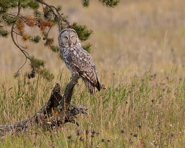 Great Gray Owl #1 of 3