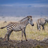 Zebra colt playing 'King of the hill' in Masai Mara, Kenya, East Africa