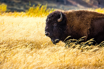 Buffalo in Field of Grass