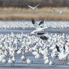 Snow Geese Just Before Afternoon Flyout