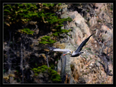 Brown Pelican Over Cliffs  A brown pelican flies by the rocky ocean cliffs.  Pt. Lobos State Reserve Carmel, California  20-MAR-2010