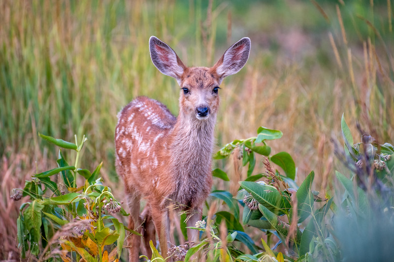 Mule Deer Fawn in Wildflowers