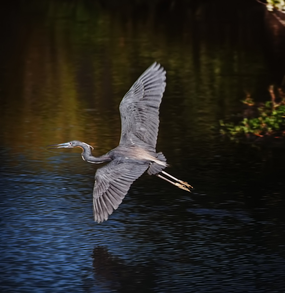 <a>Flight of the Heron, Merritt Island, Florida<br>Spring 2013<br>Augen</a>