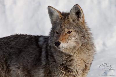 Eye of the Coyote