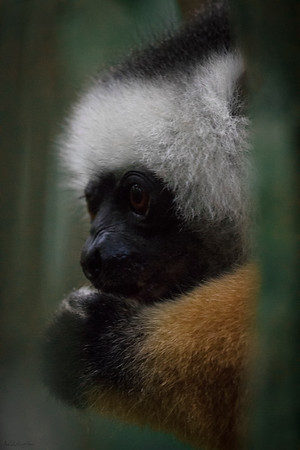 The Diamond Sifaka and its Acorn