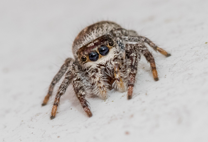 Jumping Spider 4/16/17