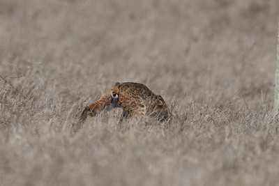 Bobcat Hunting at Point Reyes