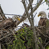 Bald Eagle Pair with Eaglet in Nest 5/17/16
