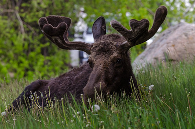 Lounging Moose
