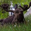 Lounging Moose