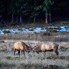 Two bull elk do battle during the fall rut, Rocky Mountain National Park, Colorado