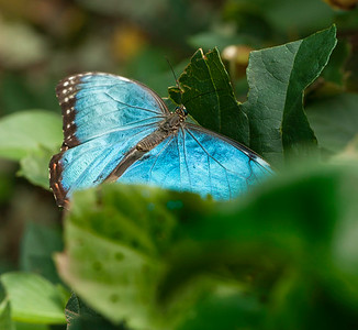 Blue Morpho, Chichen Itza, Yucatan