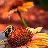 Honeybee in Red