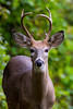 White-tailed Deer (Buck), Gambier, OH