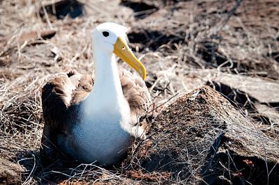 Waved albatross - Isla Española