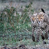 Two cheetah brothers running in Ndutu, Tanzania, East Africa