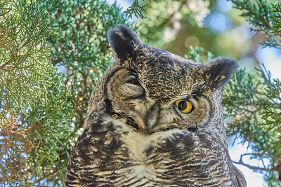 Great Horned Owl at Point Reyes