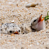 Least Tern Chicks 6/15/16