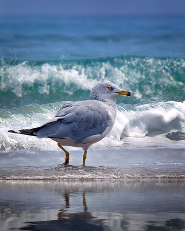 Seagull Prancing in the Waves