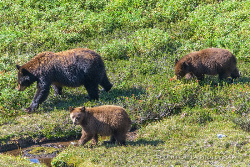 Black Bear Female with Cubs