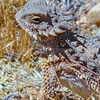 Royal Horned Lizard