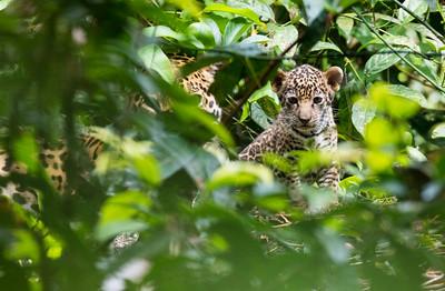 Jaguar Cub II - Brazil