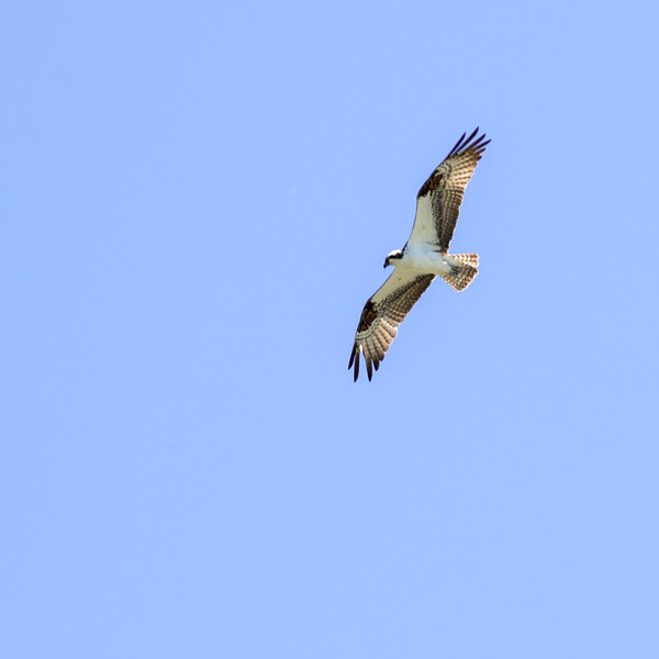 Ospry in Flight
