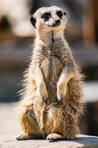 Meerkat Posing for the Cameras