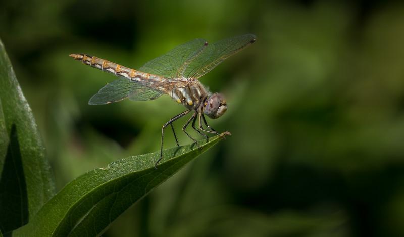 Dragonfly 3204e