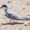 A Least Tern with Fish 6/15/16