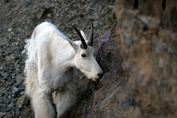 Female Mountain Goat