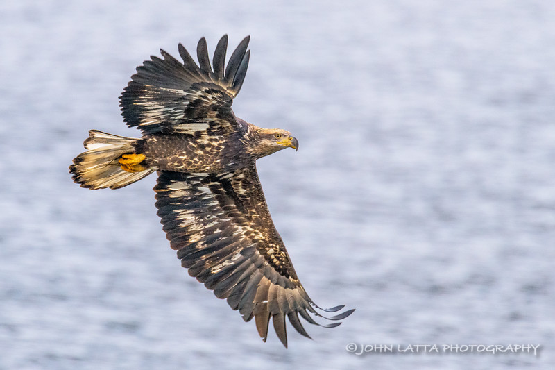 Immature Bald Eagle, Possibly Two Years Old