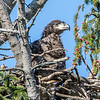 Bald Eaglet in Nest 4/24/16