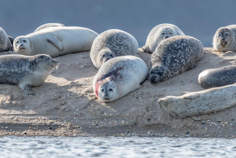 Injured Harbor Seal at Sandy Hook Beach 1/12/17