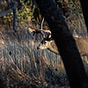 Mule Deer Sneaking through the Trees