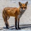 A Mama Red Fox 5/20/21