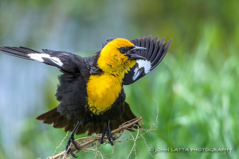 Male Yellow Headed Blackbird Displaying