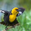 Male Yellow Headed Blackbird Displaying