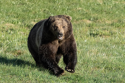 Running Male Grizzly Bear