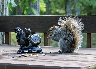 Lunching with Avatar: squirrel enjoys peanuts as lunchtime snack on deck of a house in the Pocono Mountains of northeastern Pennsylvania.