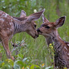 Muley fawns