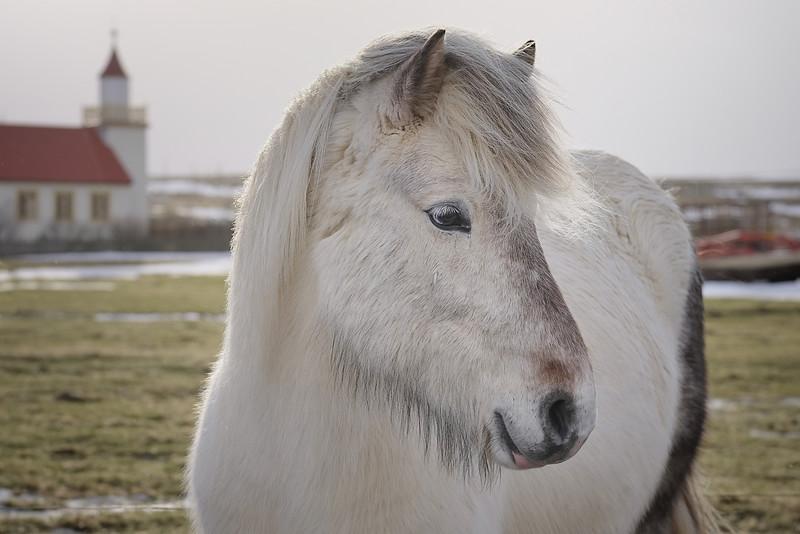 Icelandic horse near Reykholt, Iceland
