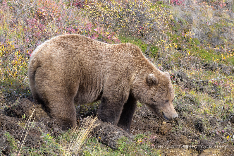 Grizzly Bear Digging for Tubers