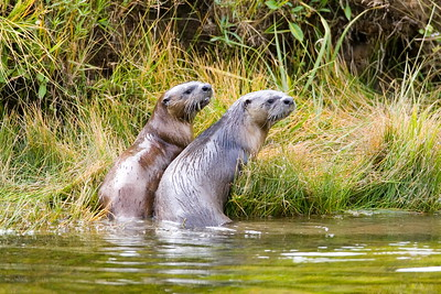 River Otters on the Madison River