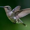 Ruby-Throated Hummingbird 6/23/17