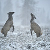 Two Female Elk Dancing in the Snow near the Snake River, Wyoming