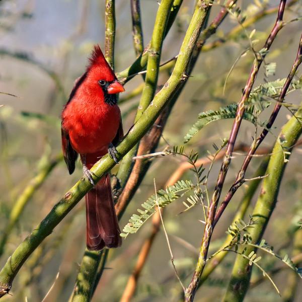 Northern Cardinal in Palo Verde